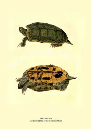 EMYS TROOSTII - Cumberland Slider or The Cumberland Turtle